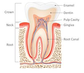 a diagram of a tooth | chattanooga root canals
